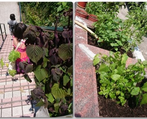 We went our neighbour, Kadoori Farm, to buy seedlings. Their plants are good!